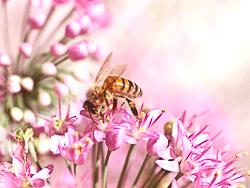 alliumbee2.jpg