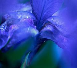 iris-3.jpg