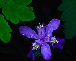 iris-crist.jpg